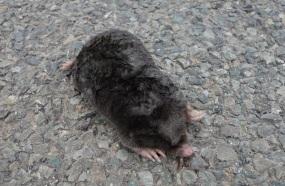 Ex mole