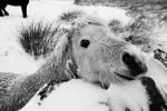 Wee Shetland on Warley Moor